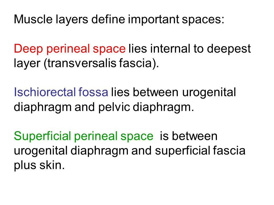 Muscle layers define important spaces: Deep perineal space lies internal to deepest layer (transversalis fascia). Ischiorectal fossa lies between urog