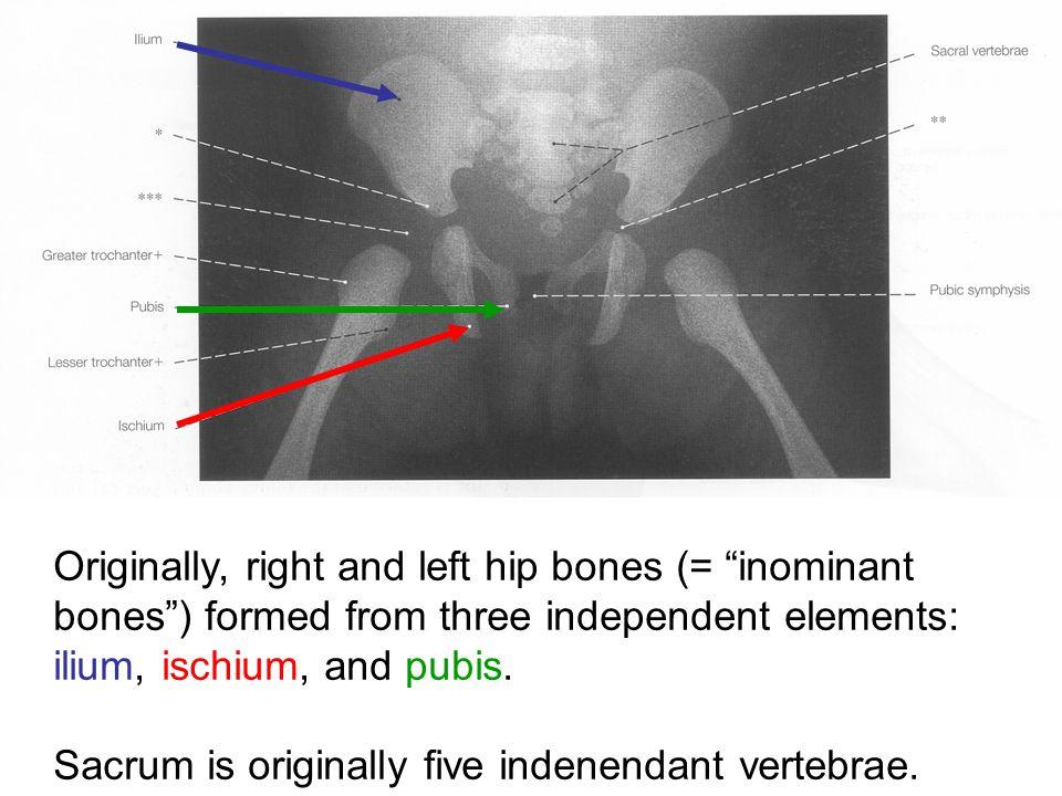 """Originally, right and left hip bones (= """"inominant bones"""") formed from three independent elements: ilium, ischium, and pubis. Sacrum is originally fiv"""