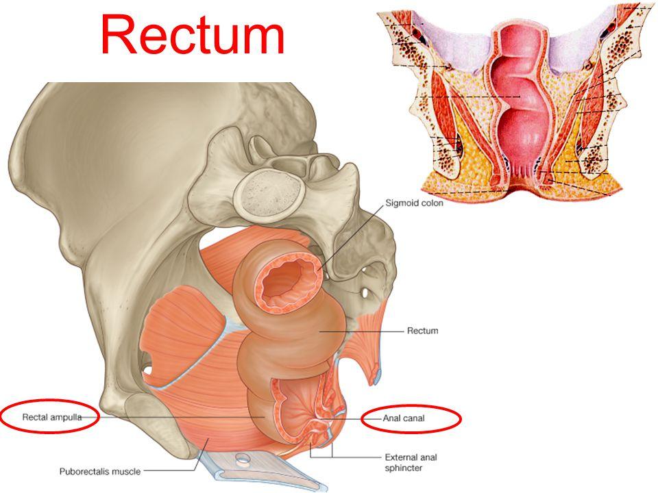 Rectum