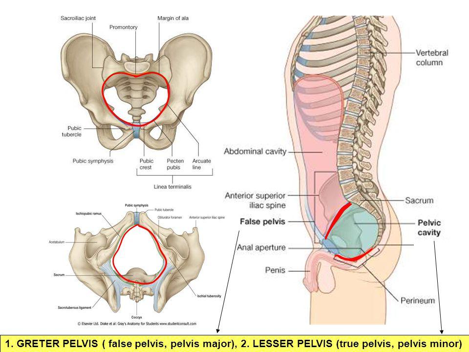 1. GRETER PELVIS ( false pelvis, pelvis major), 2. LESSER PELVIS (true pelvis, pelvis minor)
