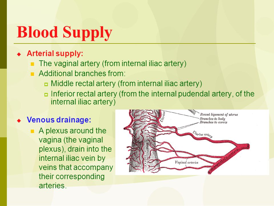 Blood Supply  Arterial supply: The vaginal artery (from internal iliac artery) Additional branches from:  Middle rectal artery (from internal iliac