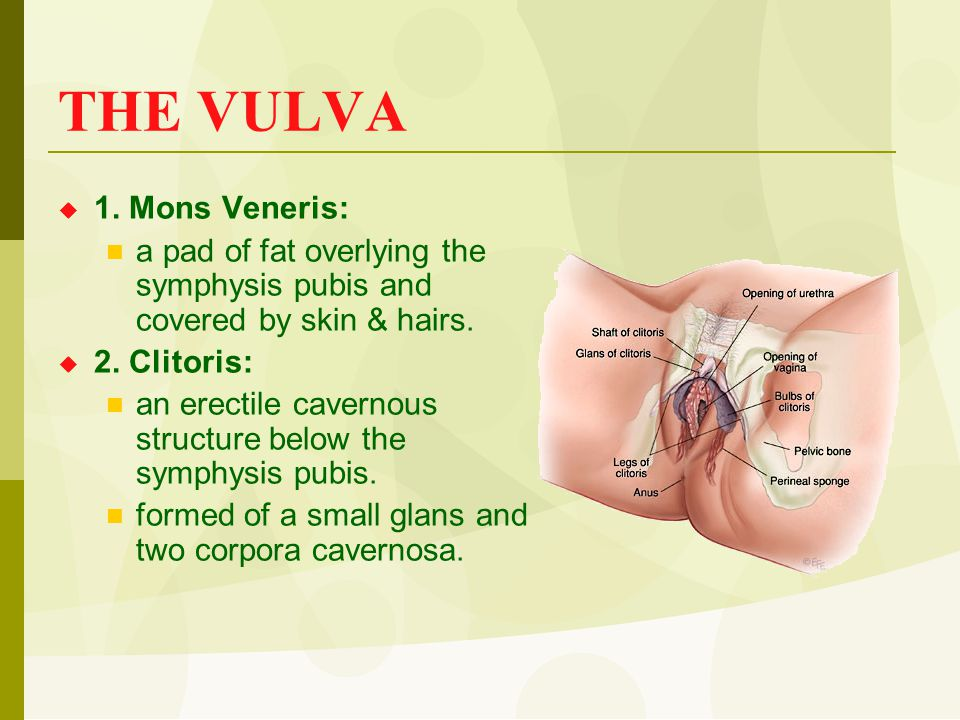 THE VULVA  1. Mons Veneris: a pad of fat overlying the symphysis pubis and covered by skin & hairs.  2. Clitoris: an erectile cavernous structure be