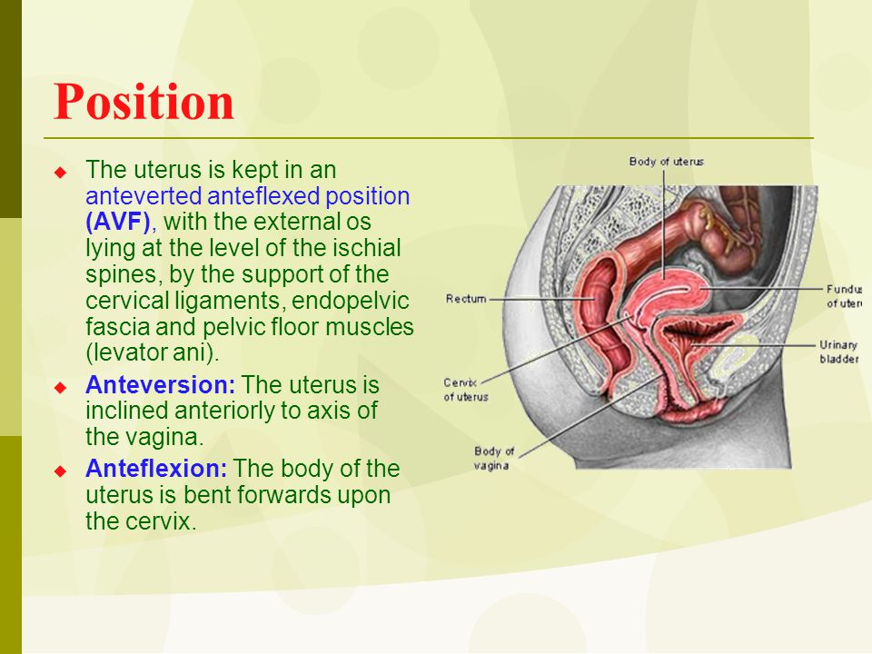 Position  The uterus is kept in an anteverted anteflexed position (AVF), with the external os lying at the level of the ischial spines, by the suppor