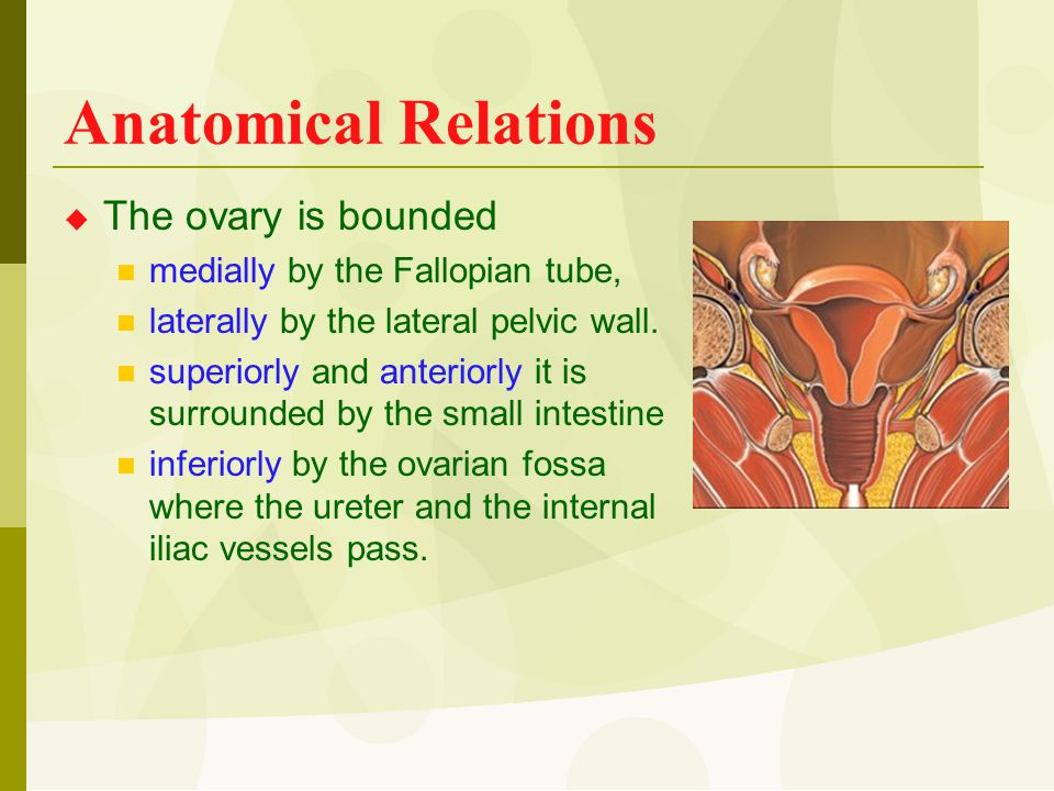 Anatomical Relations  The ovary is bounded medially by the Fallopian tube, laterally by the lateral pelvic wall. superiorly and anteriorly it is surr