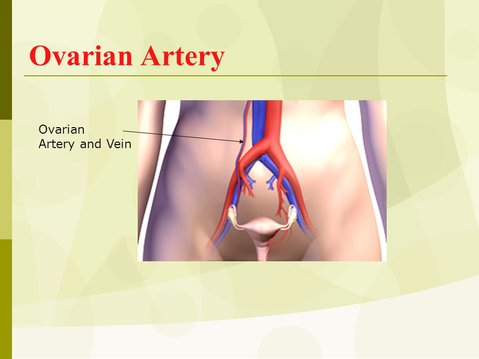 Ovarian Artery Ovarian Artery and Vein