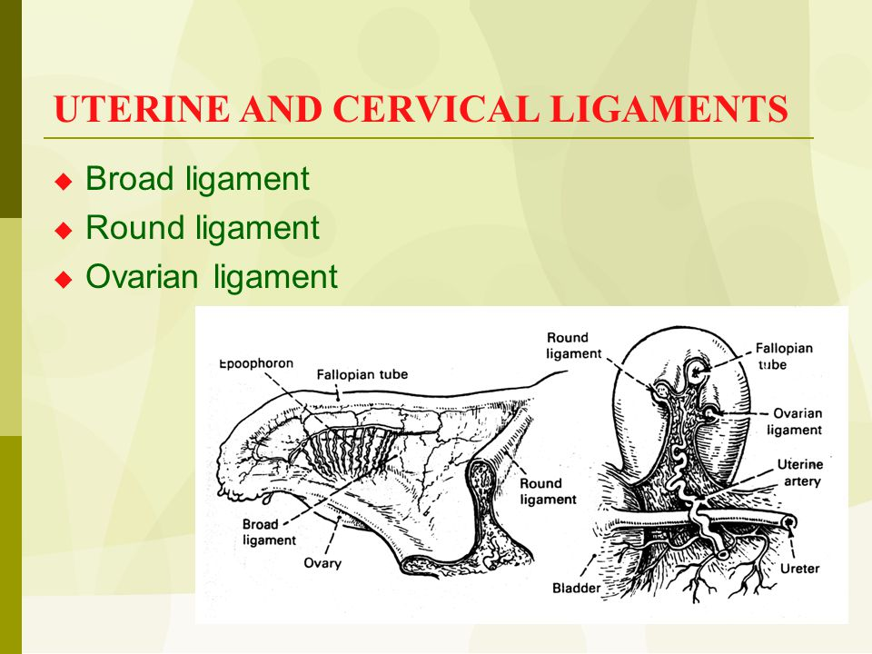 UTERINE AND CERVICAL LIGAMENTS  Broad ligament  Round ligament  Ovarian ligament