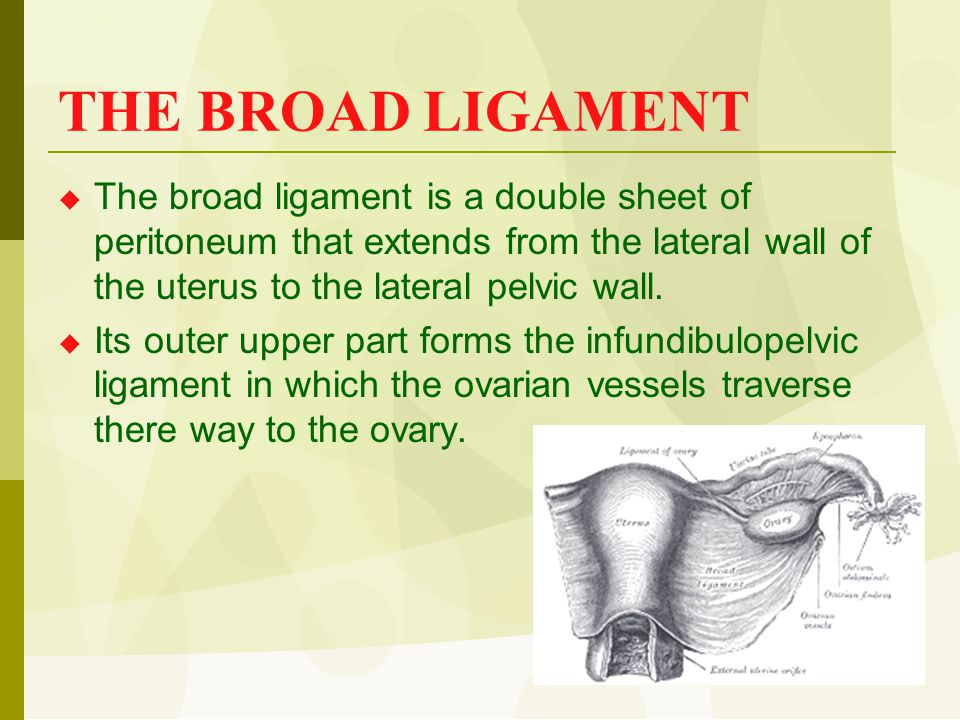 THE BROAD LIGAMENT  The broad ligament is a double sheet of peritoneum that extends from the lateral wall of the uterus to the lateral pelvic wall. 