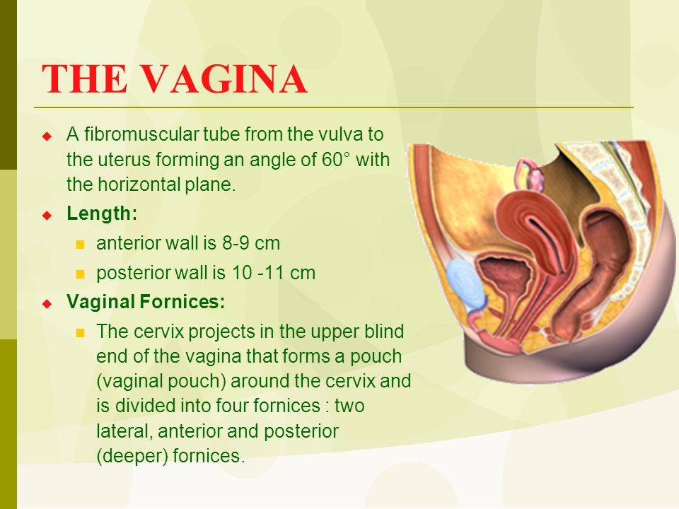 THE VAGINA  A fibromuscular tube from the vulva to the uterus forming an angle of 60° with the horizontal plane.  Length: anterior wall is 8-9 cm po