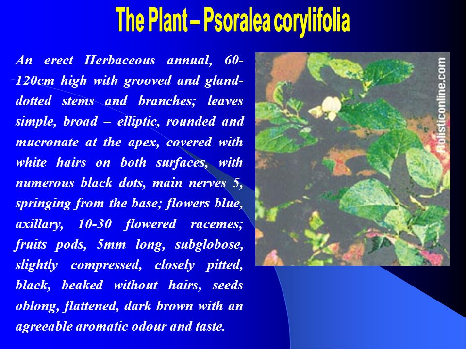 Parts Used:Seeds Constituents : The chief active principle of the seeds is an essential oil; and a fixed oil, a resin, and traces of a substance of alkaloidal nature.