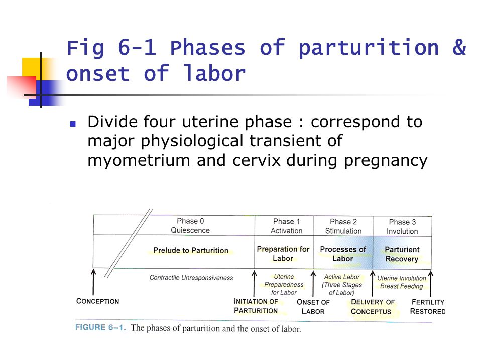 3 Fig 6-1 Phases of parturition & onset of labor Divide four uterine phase : correspond to major physiological transient of myometrium and cervix duri