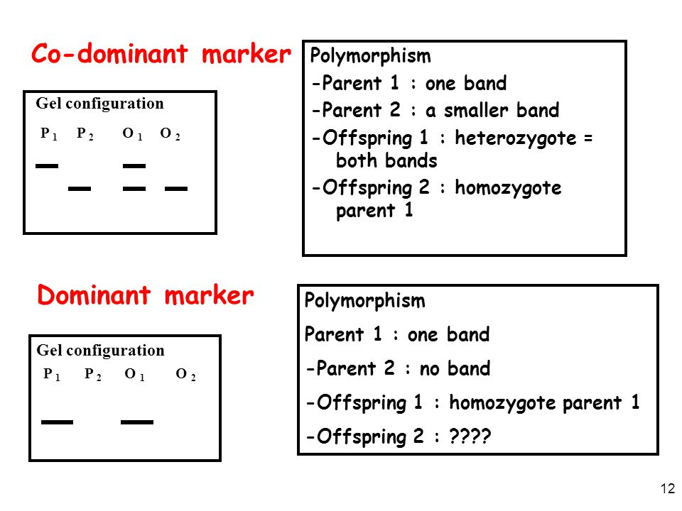 12 Polymorphism -Parent 1 : one band -Parent 2 : a smaller band -Offspring 1 : heterozygote = both bands -Offspring 2 : homozygote parent 1 Polymorphi