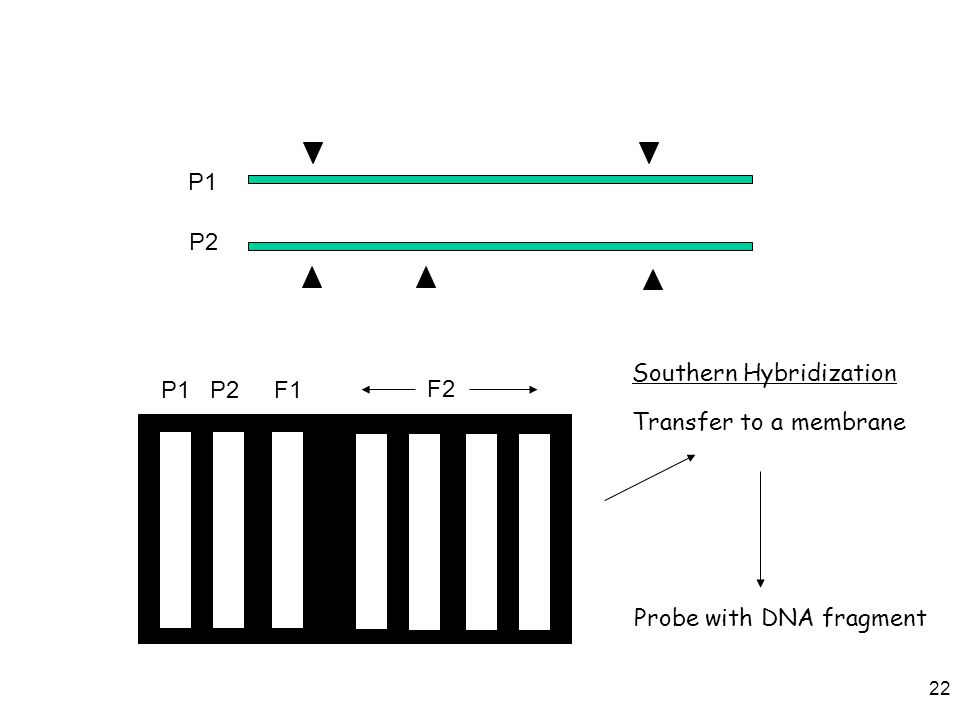 22 P1 P2 P1P2F1 F2 Transfer to a membrane Probe with DNA fragment Southern Hybridization