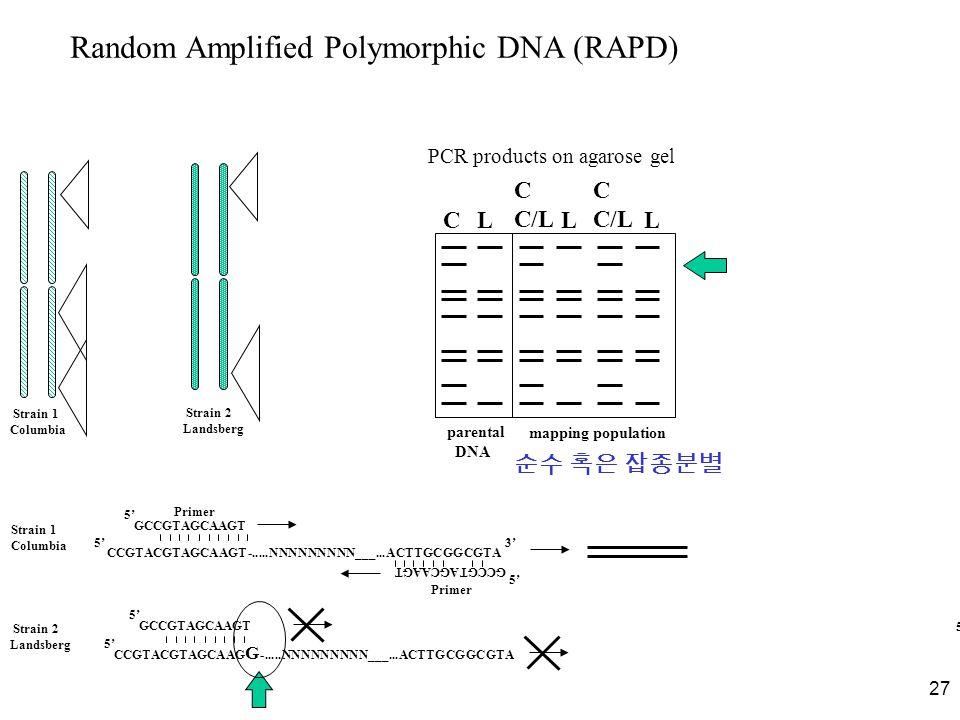 27 Random Amplified Polymorphic DNA (RAPD) Strain 1 Columbia Strain 2 Landsberg Strain 1 Columbia CCGTACGTAGCAAGT-.....NNNNNNNNN___...ACTTGCGGCGTA CL C C/L C C/L LL PCR products on agarose gel parental DNA mapping population CCGTACGTAGCAAG G -.....NNNNNNNNN___...ACTTGCGGCGTA GCCGTAGCAAGT 5'5' 5'5' 5'5' 5'5' 5'5' 3'3' 5'5' Primer Strain 2 Landsberg 순수 혹은 잡종분별