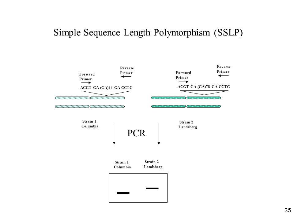 35 Simple Sequence Length Polymorphism (SSLP) Strain 1 Columbia ACGT GA (GA)44 GA CCTG Forward Primer Reverse Primer ACGT GA (GA)78 GA CCTG Strain 2 Landsberg Strain 1 Columbia Strain 2 Landsberg PCR Forward Primer Reverse Primer