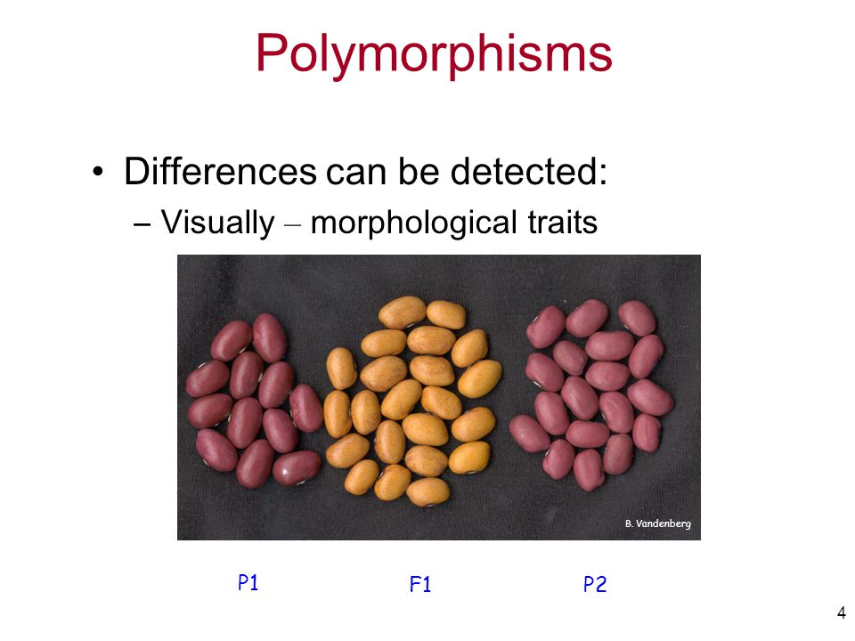 4 Differences can be detected: –Visually – morphological traits P1 F1P2 B. Vandenberg Polymorphisms