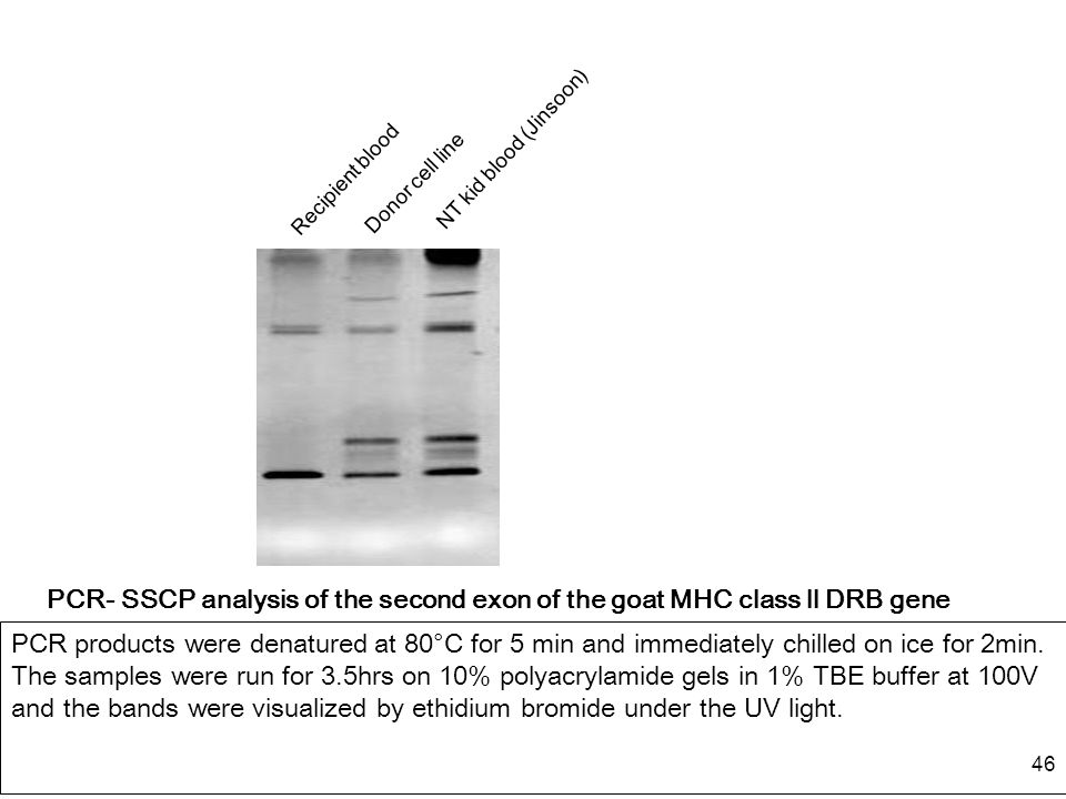 46 PCR- SSCP analysis of the second exon of the goat MHC class ll DRB gene PCR products were denatured at 80°C for 5 min and immediately chilled on ic