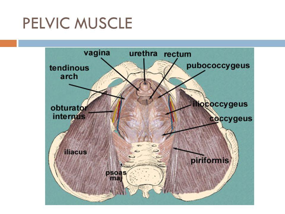 PELVIC MUSCLE