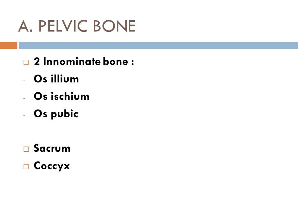 A. PELVIC BONE  2 Innominate bone : - Os illium - Os ischium - Os pubic  Sacrum  Coccyx
