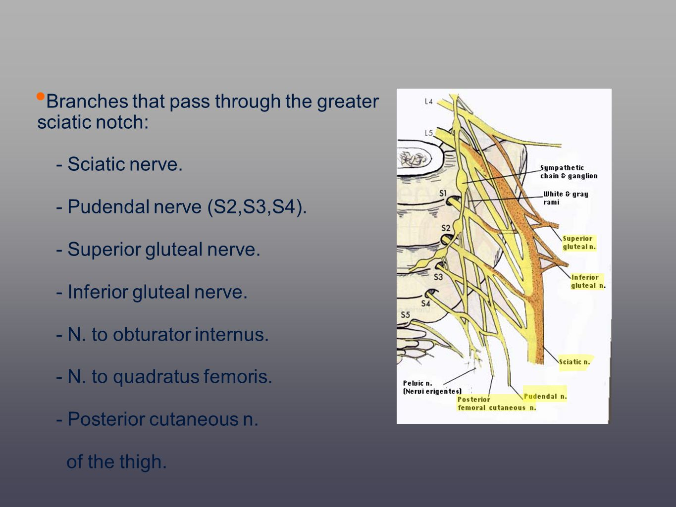 Branches that pass through the greater sciatic notch: - Sciatic nerve. - Pudendal nerve (S2,S3,S4). - Superior gluteal nerve. - Inferior gluteal nerve