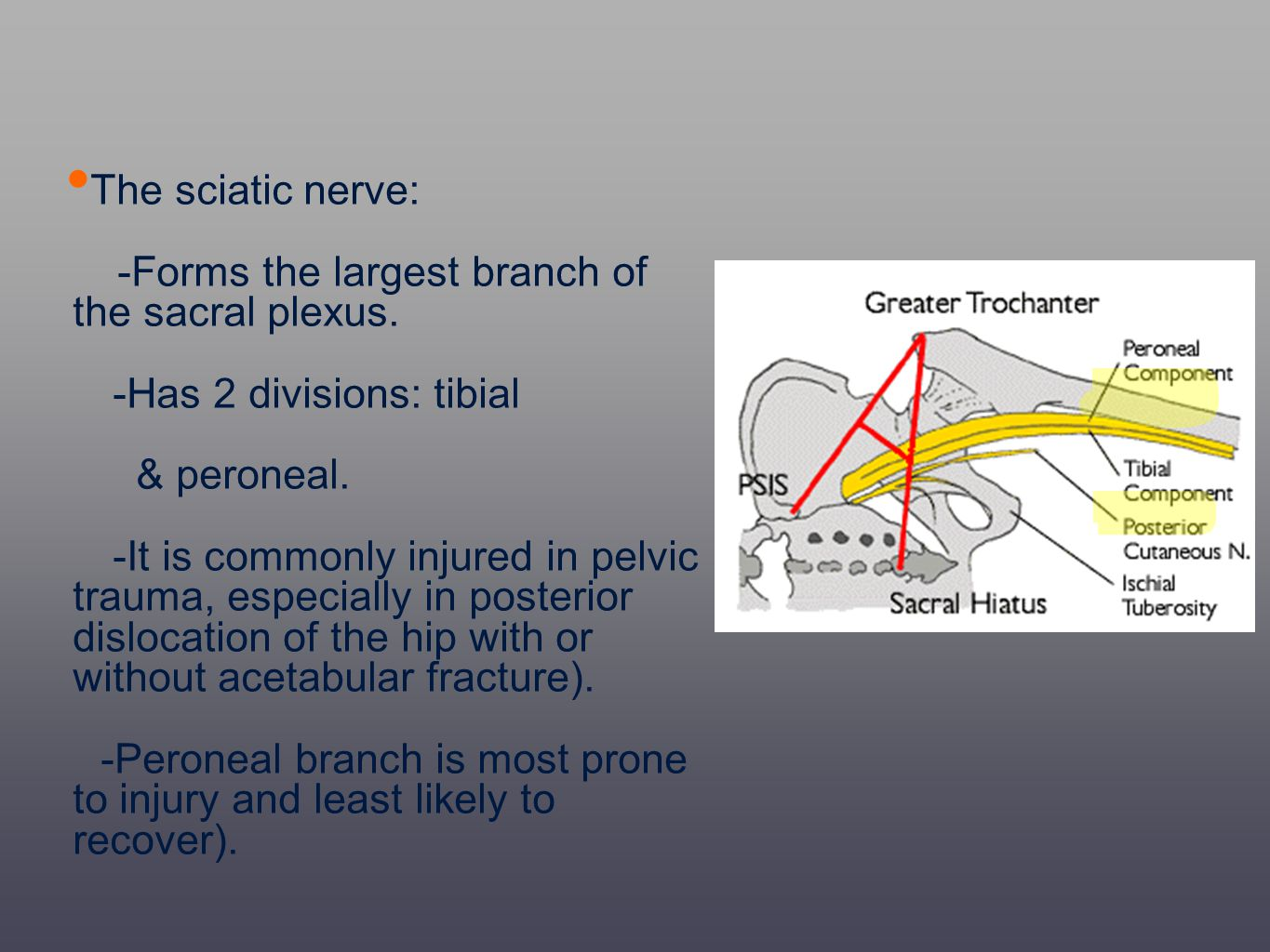 The sciatic nerve: -Forms the largest branch of the sacral plexus. -Has 2 divisions: tibial & peroneal. -It is commonly injured in pelvic trauma, espe