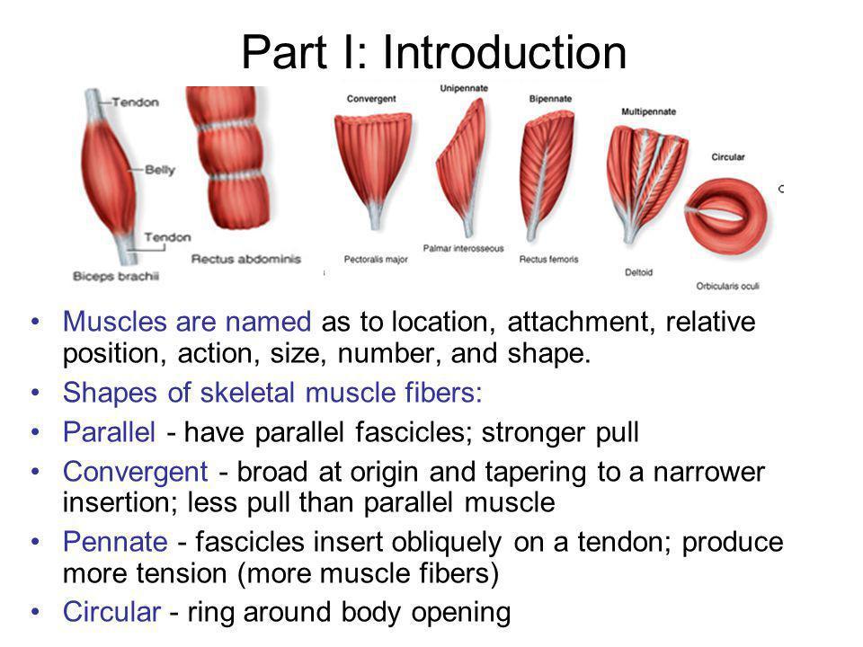 Descriptive Term for Muscle Size: Longus = long Longissimus = longest Teres = long and round Brevis = short Magnus = large Major = larger Maximus = largest Minor = small Minimus = smallest Parts of a Skeletal Muscle: 1.