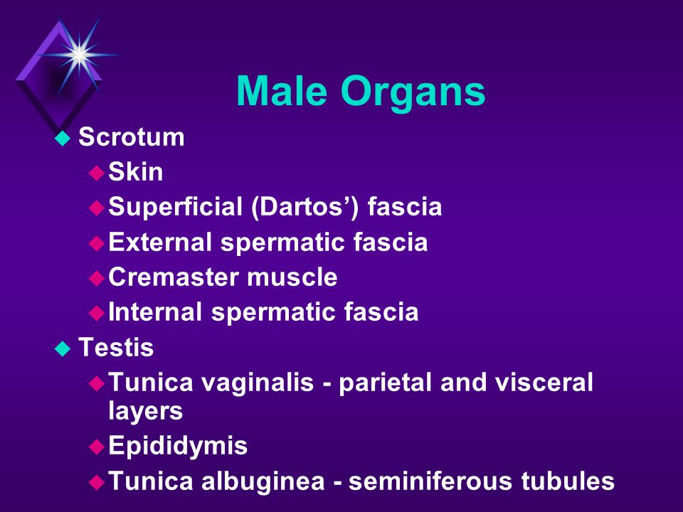 Male Organs  Scrotum  Skin  Superficial (Dartos') fascia  External spermatic fascia  Cremaster muscle  Internal spermatic fascia  Testis  Tuni