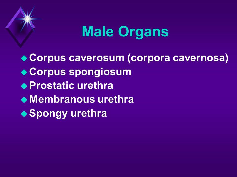 Male Organs  Corpus caverosum (corpora cavernosa)  Corpus spongiosum  Prostatic urethra  Membranous urethra  Spongy urethra