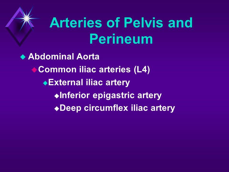 Arteries of Pelvis and Perineum  Abdominal Aorta  Common iliac arteries (L4)  External iliac artery  Inferior epigastric artery  Deep circumflex