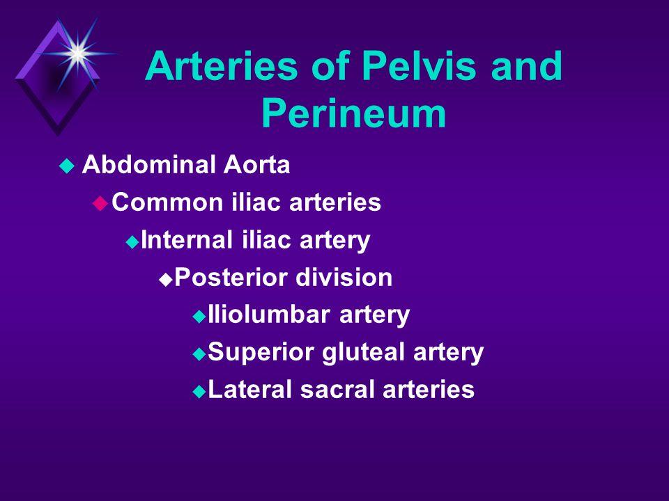 Arteries of Pelvis and Perineum  Internal iliac artery  Anterior division  Obturator artery  Umbilical artery  Vaginal/uterine artery  Inferior vesical artery  Middle rectal artery  Internal pudendal artery  Inferior gluteal artery