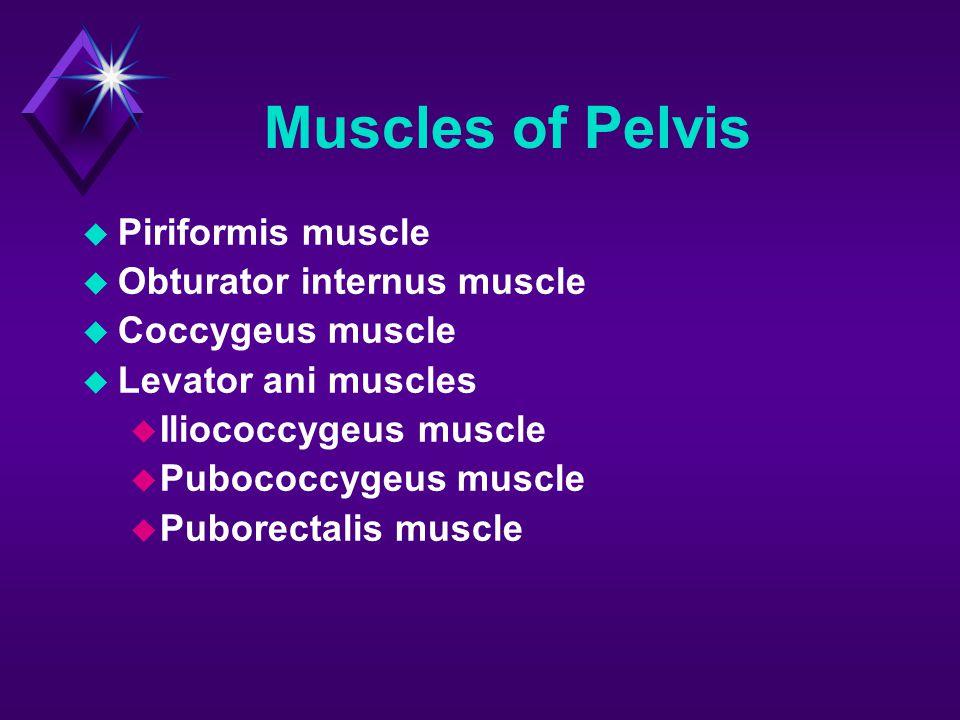 Muscles of Pelvis  Piriformis muscle  Obturator internus muscle  Coccygeus muscle  Levator ani muscles  Iliococcygeus muscle  Pubococcygeus musc