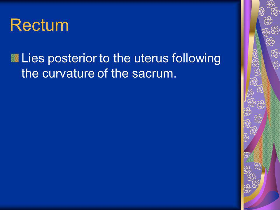 Rectum Lies posterior to the uterus following the curvature of the sacrum.