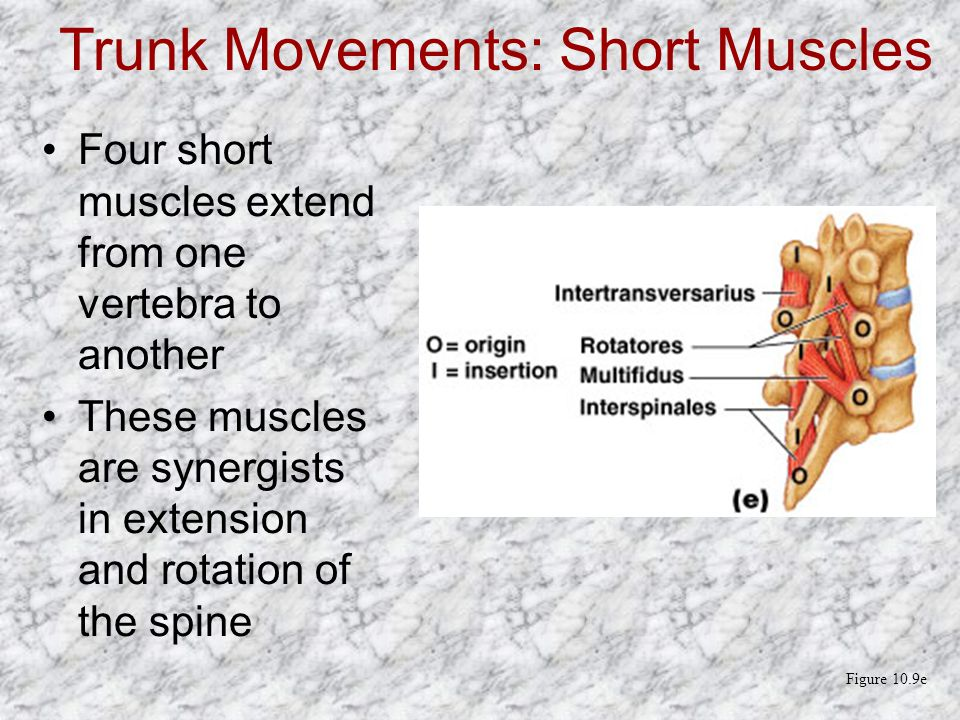 Trunk Movements: Short Muscles Four short muscles extend from one vertebra to another These muscles are synergists in extension and rotation of the sp