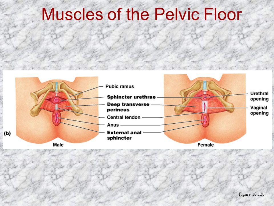 Muscles of the Pelvic Floor Figure 10.12b