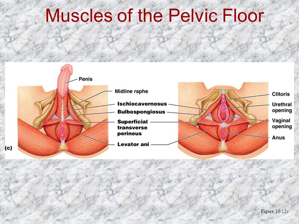 Muscles of the Pelvic Floor Figure 10.12c