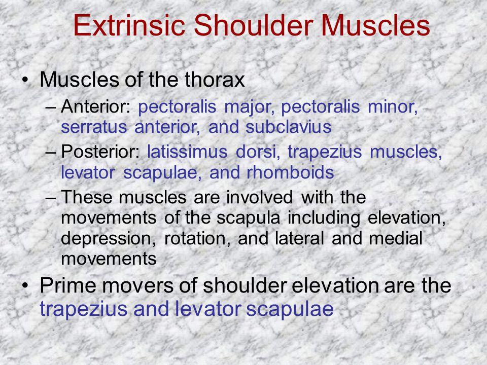 Extrinsic Shoulder Muscles Muscles of the thorax –Anterior: pectoralis major, pectoralis minor, serratus anterior, and subclavius –Posterior: latissim