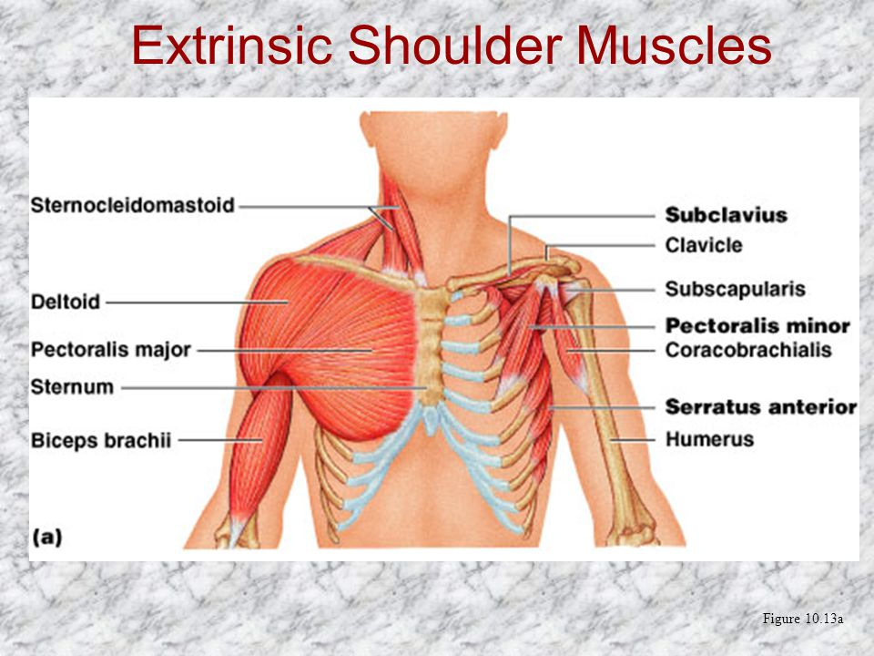 Extrinsic Shoulder Muscles Figure 10.13a