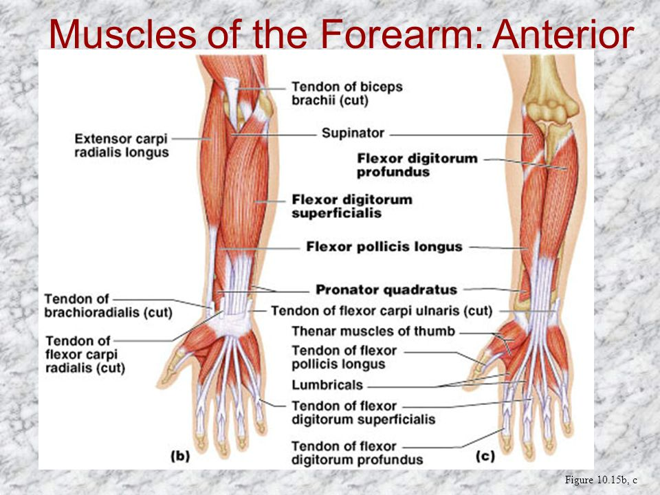 Muscles of the Forearm: Anterior Compartment Figure 10.15b, c