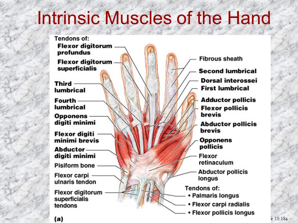Intrinsic Muscles of the Hand Figure 10.18a