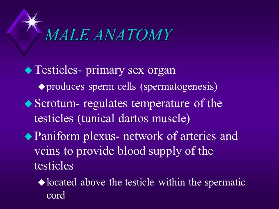MALE ANATOMY u Testicles- primary sex organ u produces sperm cells (spermatogenesis) u Scrotum- regulates temperature of the testicles (tunical dartos