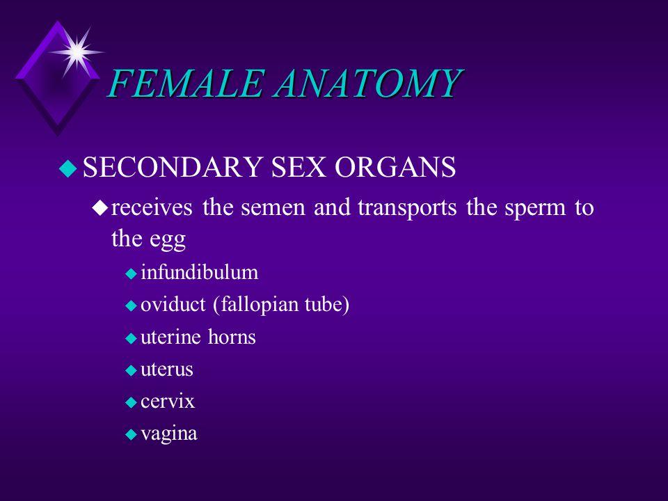 FEMALE ANATOMY u SECONDARY SEX ORGANS u receives the semen and transports the sperm to the egg u infundibulum u oviduct (fallopian tube) u uterine hor