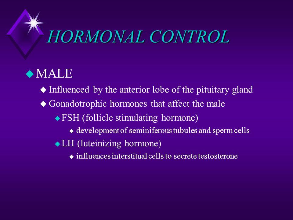 HORMONAL CONTROL u MALE u Influenced by the anterior lobe of the pituitary gland u Gonadotrophic hormones that affect the male u FSH (follicle stimula