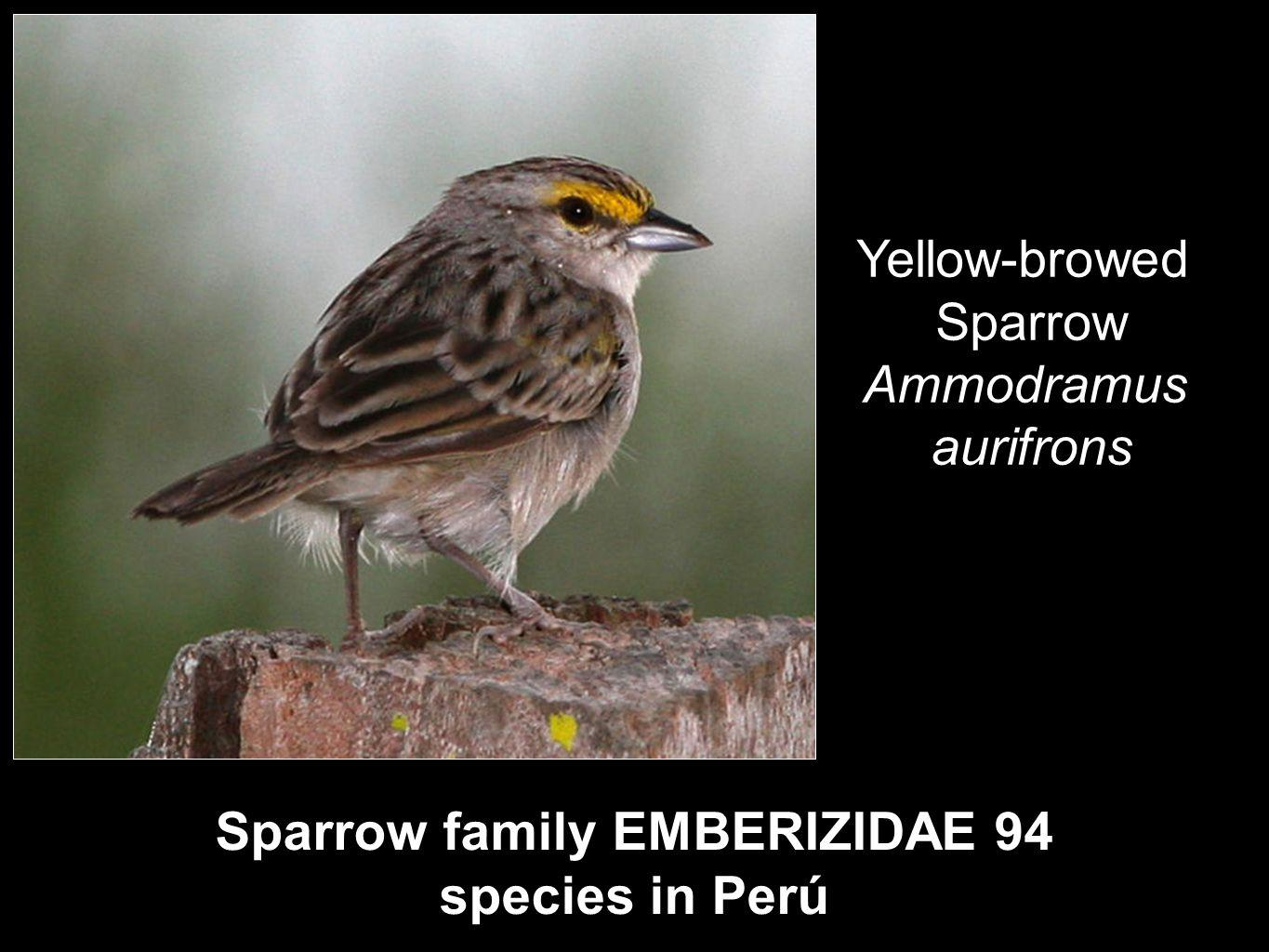 Sparrow family EMBERIZIDAE 94 species in Perú Yellow-browed Sparrow Ammodramus aurifrons