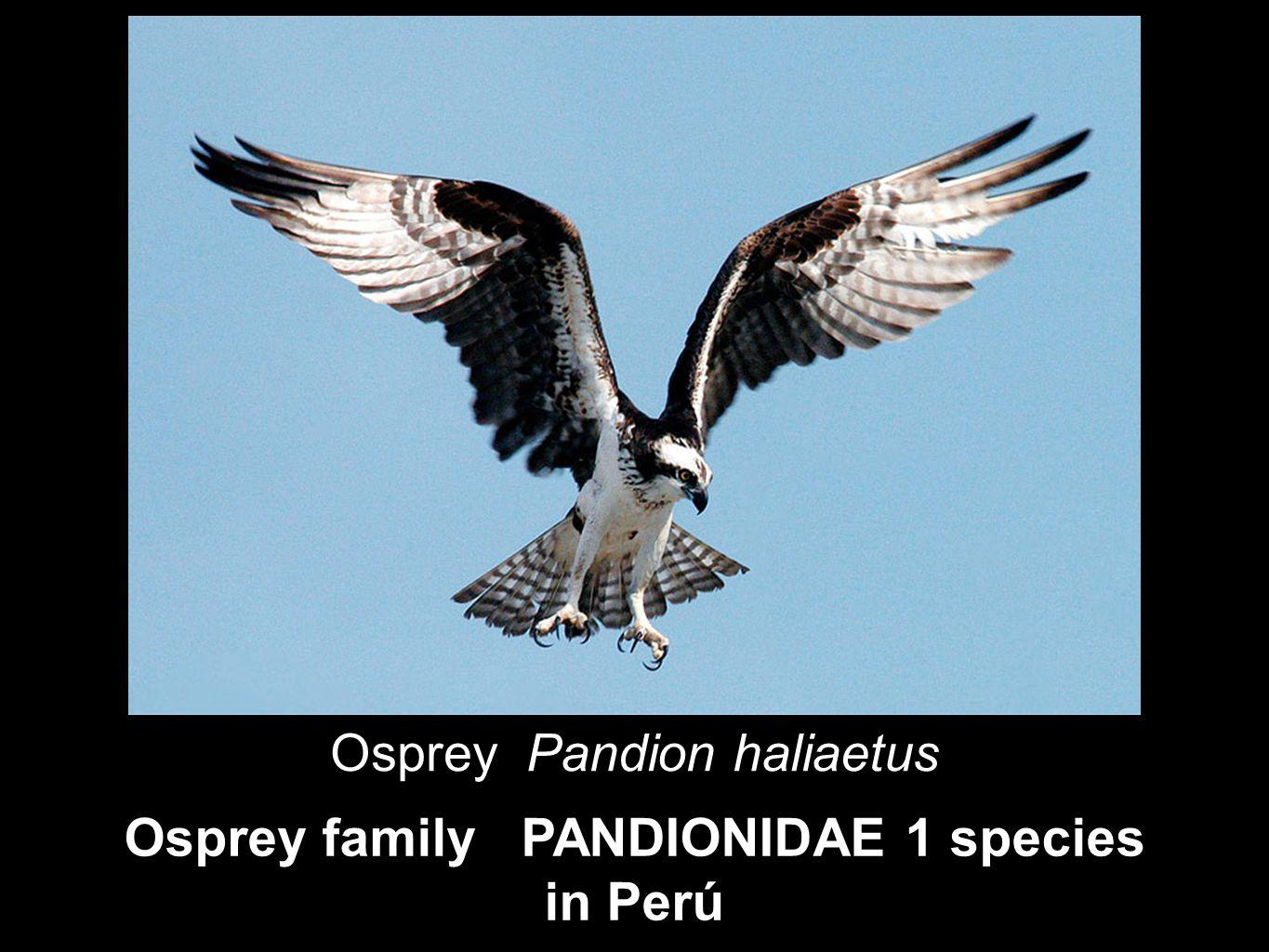 Osprey family PANDIONIDAE 1 species in Perú Osprey Pandion haliaetus
