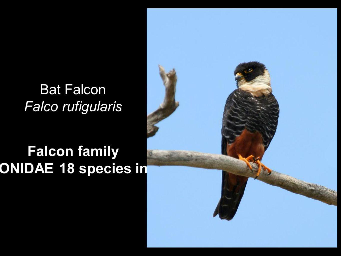 Falcon family FALCONIDAE 18 species in Perú Bat Falcon Falco rufigularis