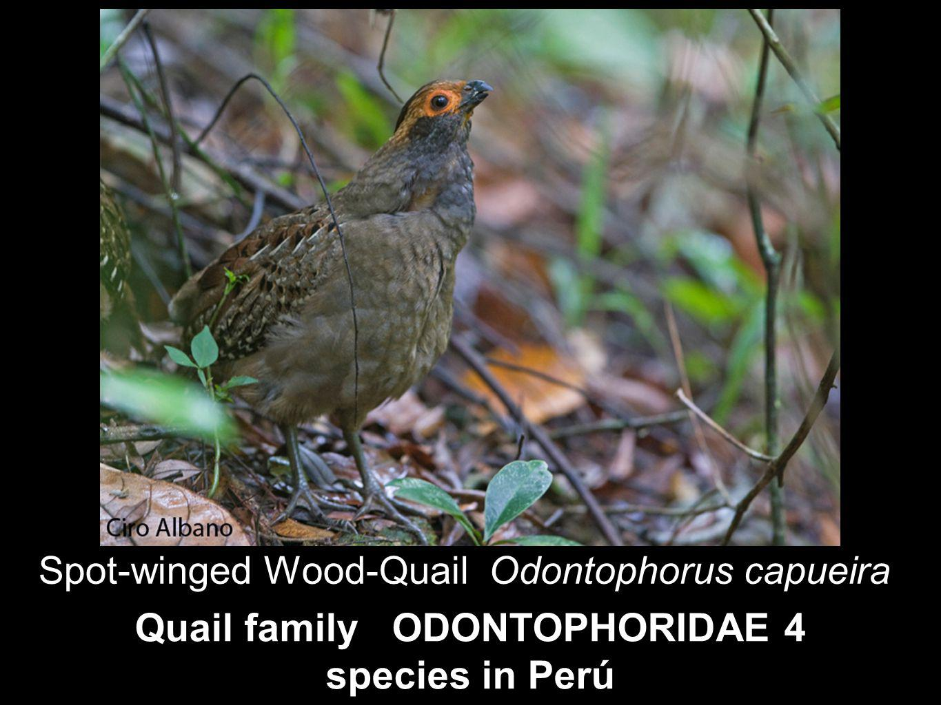 Quail family ODONTOPHORIDAE 4 species in Perú Spot-winged Wood-Quail Odontophorus capueira