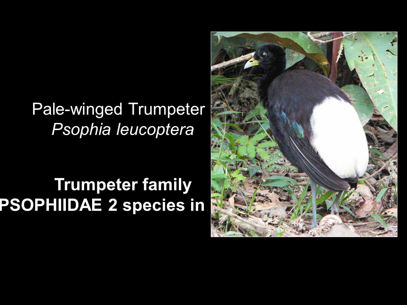Trumpeter family PSOPHIIDAE 2 species in Perú Pale-winged Trumpeter Psophia leucoptera