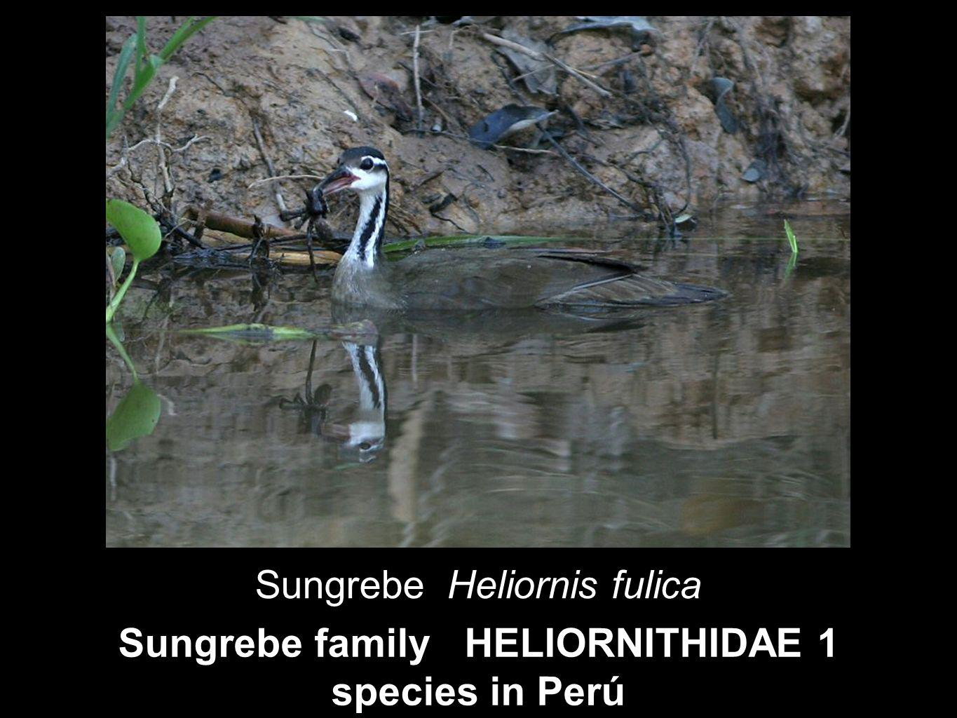 Sungrebe family HELIORNITHIDAE 1 species in Perú Sungrebe Heliornis fulica