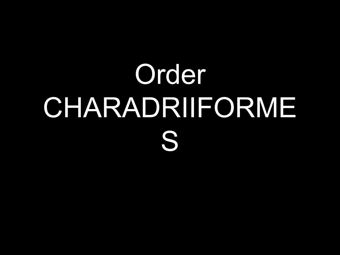 Order CHARADRIIFORME S