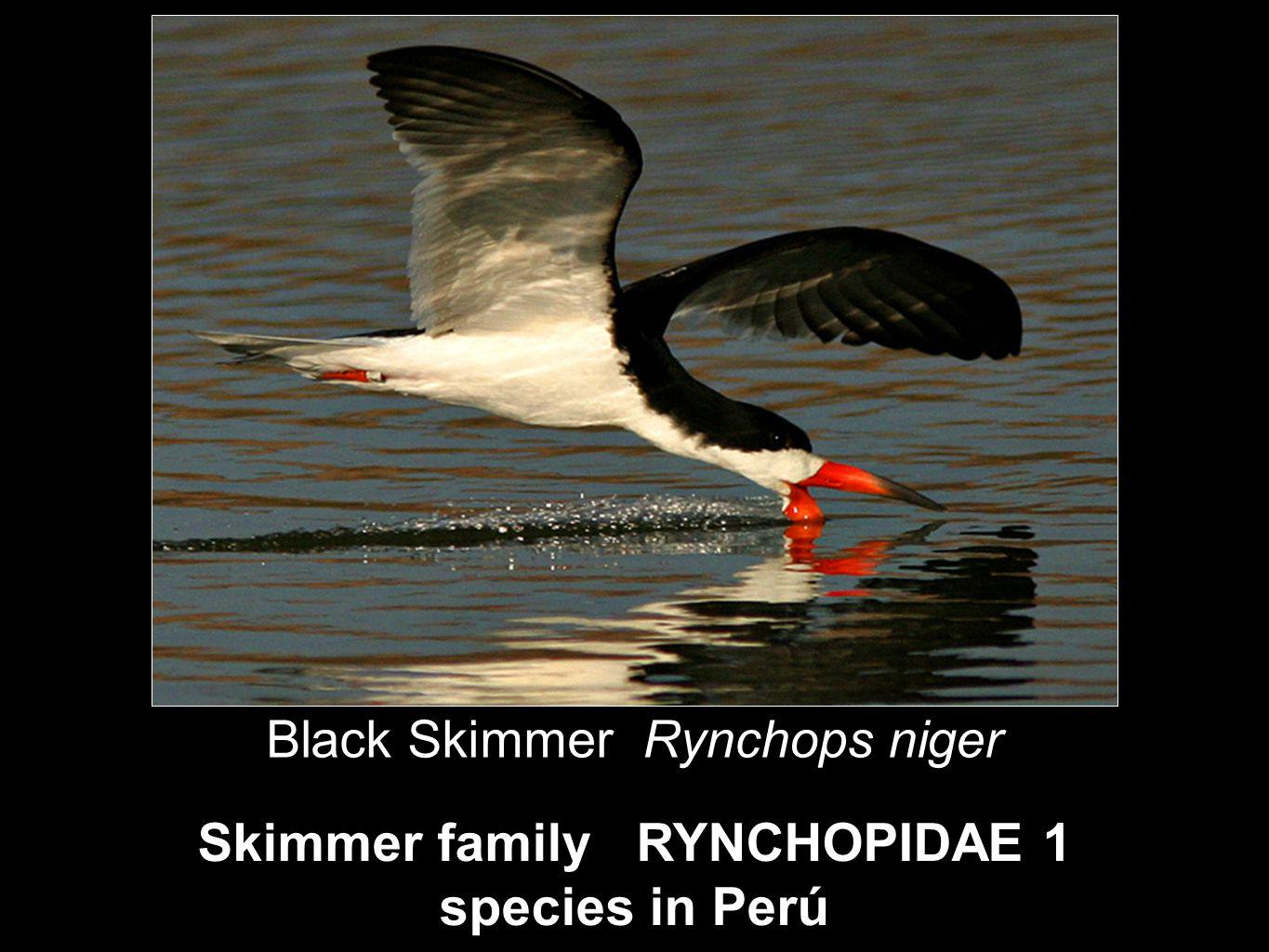 Skimmer family RYNCHOPIDAE 1 species in Perú Black Skimmer Rynchops niger