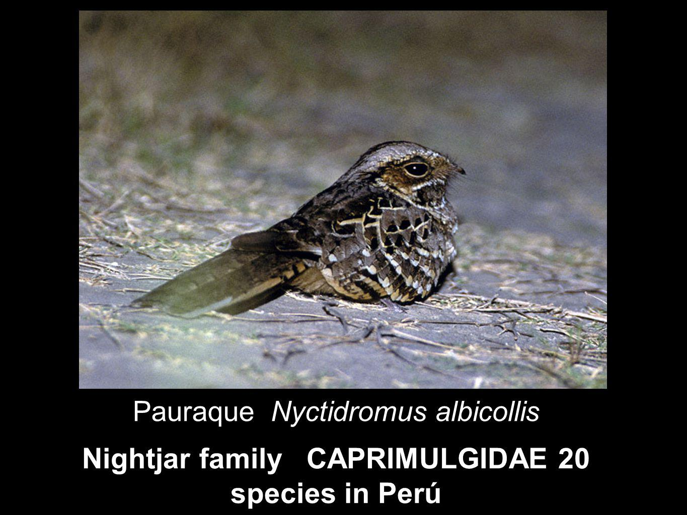 Nightjar family CAPRIMULGIDAE 20 species in Perú Pauraque Nyctidromus albicollis